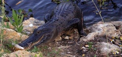 pictures of alligators