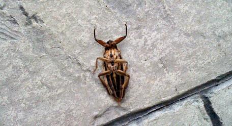 palmetto bug picture