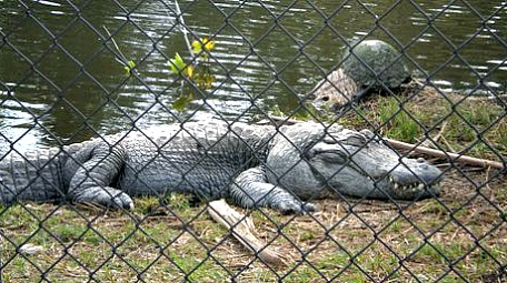 cape coral alligators