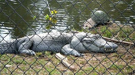 cape coral alligators