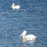white pelicans in florida