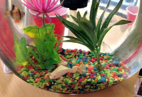 albino water frog