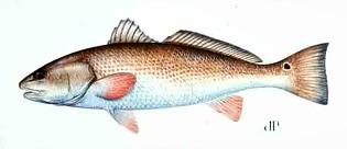cape coral fish