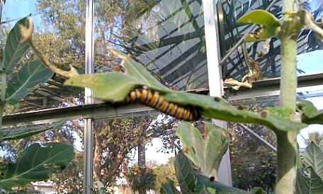 black and yellow striped caterpillar