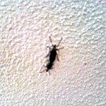 florida love bugs